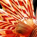 hand crafted art glass lionfish - detail